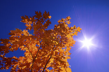 Autumn foliage in front of blue sky - SMAF000286