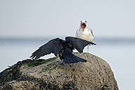 Germany, Schleswig-Holstein, Seagull and raven on rock - HACF000216