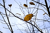 Germany, Minden, autumn leaves of a hornbeam, Carpinus betulus - HOHF001241