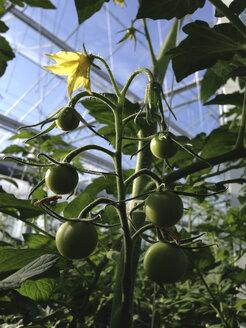 Greenhouse, Tomato plants - JEDF000210