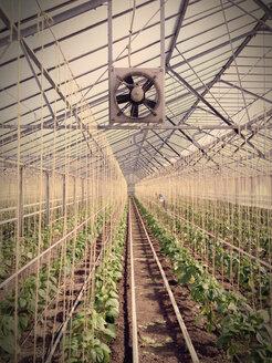 Greenhouse, Capsicum plants - JED000226