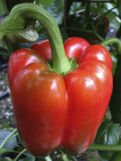Greenhouse, Capsicum plants - JEDF000220