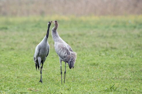 Crane couple on meadow billing - HACF000217