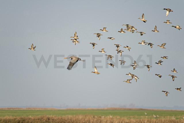 Flying cranes and ducks - HACF000222 - Hans Clausen/Westend61