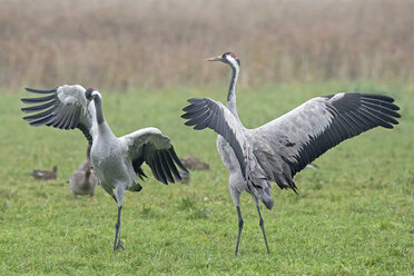 Two male cranes with spreading their wings - HACF000227