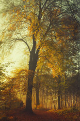 Germany, autumn forest at morning sunlight - DWI000368