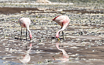 Bolivia, two Andean flamingos, Phoenicoparrus andinus, foraging in water of Laguna Hedionda - STSF000668
