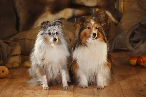 Two Shetland Sheepdogs sitting side by side in a barn - HTF000574