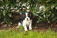 Cavalier King Charles Spaniel puppy eating grass under a shrub - HTF000580