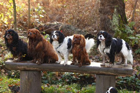 Group of Cavalier King Charles Spaniels on a wooden bench - HTF000585