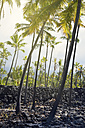 USA, Hawaii, Big Island, Honaunau-Napoopoo, palms, and igneous rock wall at Puuhonua o Honaunau - BRF000901