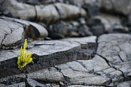USA, Hawaii, Big Island, Volcanoes National Park, fern, Polypodiopsida, growing in between lava crack - BRF000939