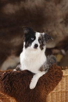 Miniature Australian Shepherd on sheepskin sitting in a basket - HTF000590