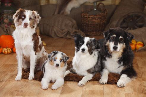 Australian Shepherd and three Miniature Australian Shepherds side by side - HTF000591