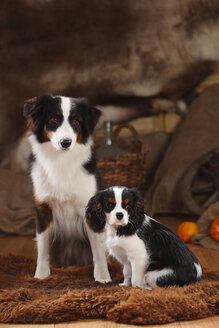Australian Shepherd and Cavalier King Charles Spaniel puppy sitting in a basket - HTF000603