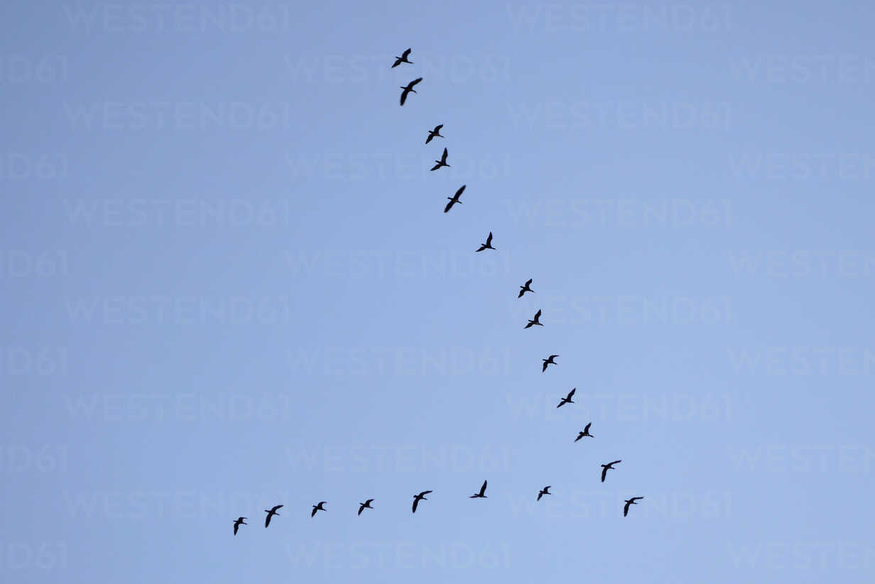 Formation of migrating birds in front of blue sky - LBF000998 - Lisa und Wilfried Bahnmüller/Westend61