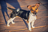 Jack Russell Terrier looking to camera - EHF000054