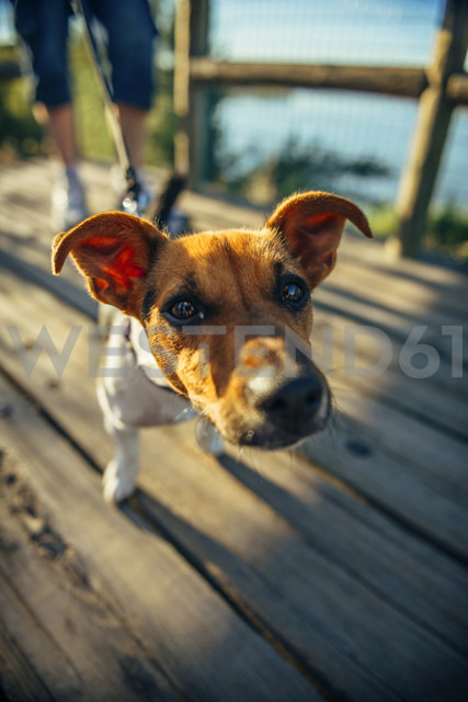 Jack Russell Terrier looking to camera - EHF000052