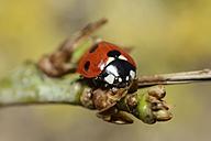 Seven-spot ladybird, Coccinella septempunctata, sitting on twig - MJOF000916