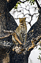 Botswana, Okavango Delta, Leopard in tree - HHF004998