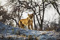 Botswana, Okavango Delta, lioness hunting - HHF005000