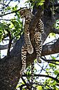Botswana, Okavango Delta, Leopard in tree - HHF005004