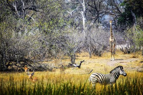 Botswana, Okavango Delta, antelopes, zebra and giraffe - HHF005005