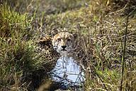 Botswana, Okavango Delta, cheetah at waterhole - HHF005010