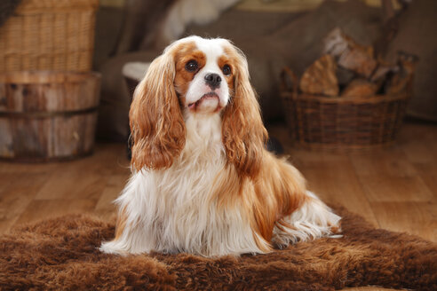 Cavalier King Charles Spaniel, blenheim, male dog - HTF000614
