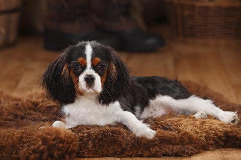 Cavalier King Charles Spaniel, puppy, tricolour, puppy - HTF000617