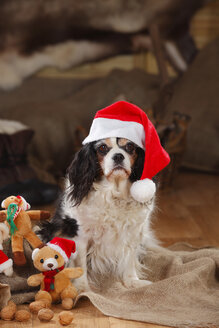 Cavalier King Charles Spaniel with christmas cap, bitch - HTF000622