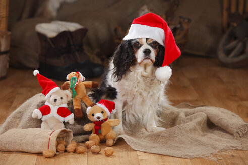 Cavalier King Charles Spaniel with christmas cap, bitch - HTF000623
