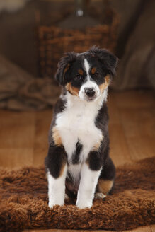 Australian Shepherd, puppy, black-tri, sitting on fur blanket - HTF000624