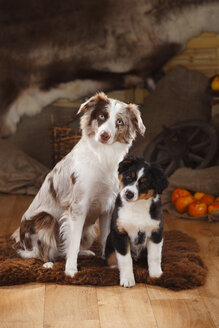 Australian Shepherd, bitch and puppy, red-merle and black-tri - HTF000632