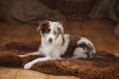 Australian Shepherd, puppy, red-merle, lying on fur blanket - HTF000634