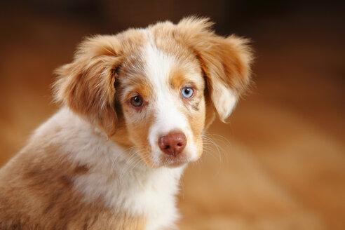 Miniature Australian Shepherd, puppy, red-merle, portrait - HTF000638