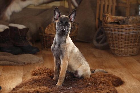Belgian Malinois, puppy, sitting on fur blanket - HTF000641