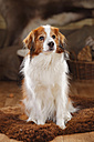 Portrait of Kooikerhondje sitting on sheepskin - HTF000665