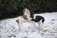Cavalier King Charles Spaniel puppy and Kooikerhondje puppy playing on snow- covered meadow - HTF000666