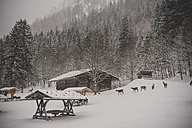 Germany, Bavaria, Berchtesgaden National Park, game feeding in winter - MJF001387