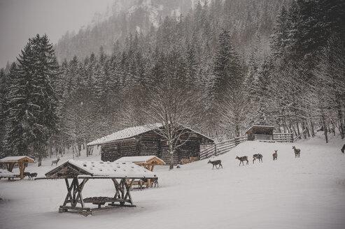 Germany, Bavaria, Berchtesgaden National Park, game feeding in winter - MJF001387