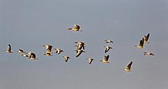 Austria, Burgenland, grey geese, Anser anser, flying - SIEF006347