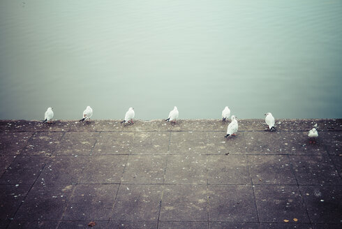 Eight seagulls in front of water - KRPF001212