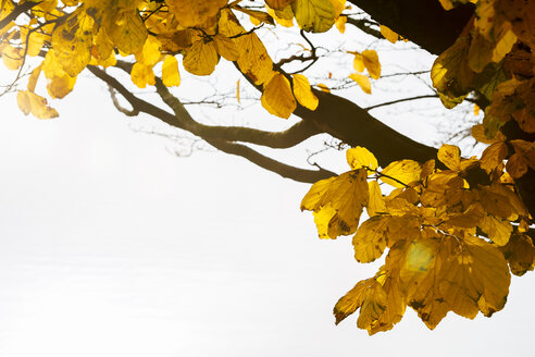 Germany, Hamburg, Yellow autumn foliage - KRPF001248