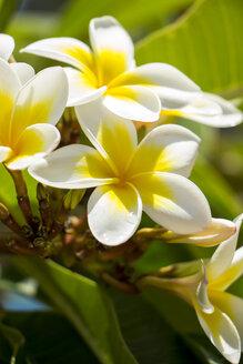 Mauritius, frangipani blossom - JUNF000166