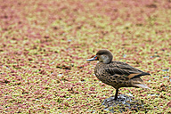 Ecuador, Galapagos Islands, Santa Cruz, white-cheeked pintail - FOF007298