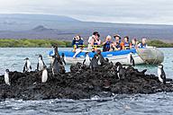 Ecuador, Galapagos Islands, Isabela, Galapagos penguins - FO007321