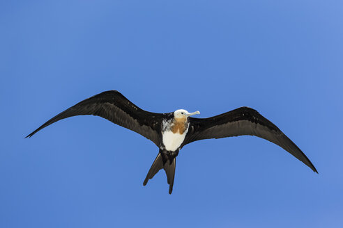 Ecuador, Galapagos Islands, Genovesa, flying great frigatebird in front of blue sky - FOF007336