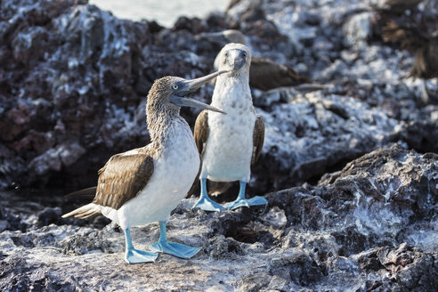 Ecuador, Galapagos Islands, Isabela, two blue-footed boobies - FOF007347