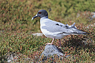 Ecuador, Galapagos Islands, Plaza Sur, swallow-tailed gull - FOF007364
